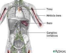 organos-linfaticos